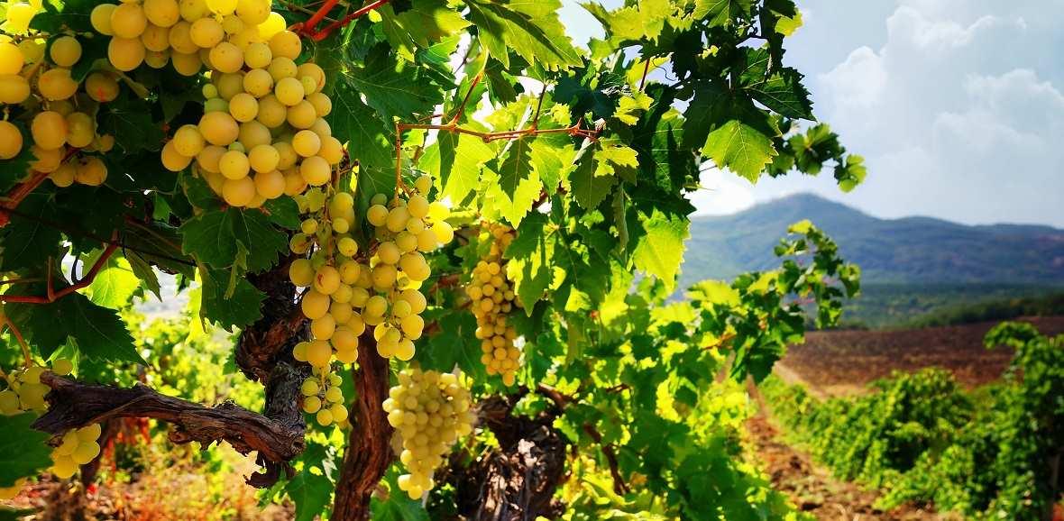 Купить виноградники покупка квартиры в праге форум